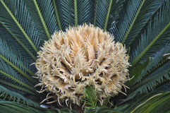 Το θηλυκό λουλούδι Cycad στοκ φωτογραφίες με δικαίωμα ελεύθερης χρήσης