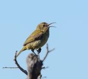 Το θηλυκό πορτοκαλής-Sunbird Στοκ Εικόνες