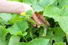 Το θηλυκό συλλέγει με το χέρι του φρέσκου αγγουριού Καλλιέργεια αγγουριών Αυξανόμενος το νέο αγγούρι στη γυναίκα παραδώστε τον κή Στοκ Φωτογραφία