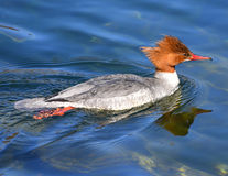 Το θηλυκό χηνοπριστών κολυμπά Στοκ Φωτογραφία