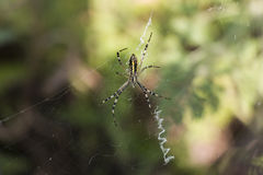Το θηλυκό bruennichi Argiope αραχνών στον ιστό αράχνης Στοκ Εικόνες