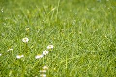 Το θολωμένο πράσινο θερινό υπόβαθρο με τα λουλούδια μαργαριτών και την πράσινα χλόη και το νερό ρίχνει το πέταγμα Στοκ εικόνες με δικαίωμα ελεύθερης χρήσης