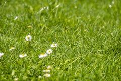Το θολωμένο πράσινο θερινό υπόβαθρο με τα λουλούδια μαργαριτών και την πράσινα χλόη και το νερό ρίχνει το πέταγμα Στοκ φωτογραφία με δικαίωμα ελεύθερης χρήσης