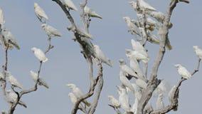 Το θορυβώδες κοπάδι corella των παπαγάλων τρέπεται σε φυγή απόθεμα βίντεο