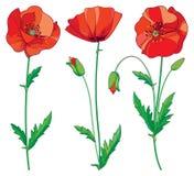 Το διάνυσμα έθεσε με το κόκκινο λουλούδι παπαρουνών περιλήψεων, τον οφθαλμό και τα πράσινα φύλλα που απομονώθηκαν στο άσπρο υπόβα Στοκ Εικόνες