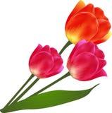 Το διάνυσμα απομόνωσε την όμορφη ανθοδέσμη λουλουδιών τουλιπών Στοκ Εικόνα