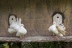 Το διακοσμητικό άσπρο περιστέρι Στοκ φωτογραφία με δικαίωμα ελεύθερης χρήσης