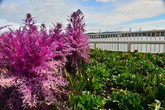 Το διακοσμητικό ρόδινο λάχανο φυτεύει την άποψη κοντά στον ποταμό Στοκ Φωτογραφία