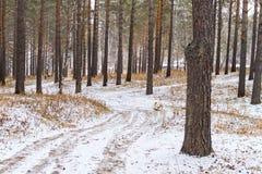 Το ιαπωνικό σκυλί Akita Inu περπατά κατά μήκος μιας άνεμος πορείας σε ένα δάσος μεταξύ των δέντρων και του χιονιού και της ξηράς  Στοκ Εικόνα