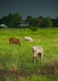 Το λιβάδι αγελάδων Στοκ Φωτογραφίες