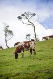 Το λιβάδι αγελάδων Στοκ Φωτογραφία