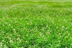 Το λιβάδι Poaceae Στοκ Φωτογραφία