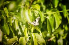 Το λιγοστό podalirius Iphiclides swallowtail Στοκ Εικόνες