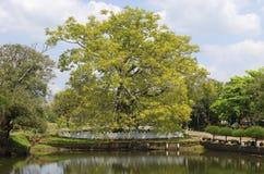 Το ιερό δέντρο Bodhi στη λίμνη Anuradhapura, Σρι Λάνκα Στοκ φωτογραφία με δικαίωμα ελεύθερης χρήσης