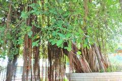 Το ιερό banyan δέντρο σε Jyotisar, Kurukshetra στοκ φωτογραφία με δικαίωμα ελεύθερης χρήσης
