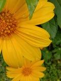Το ινδικό κίτρινο λουλούδι κάνει φρέσκος με τις πτώσεις βροχής στοκ εικόνα
