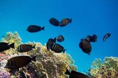 Το ινδικό anglefish κολυμπά Στοκ Εικόνες