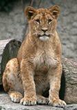 Το νέο λιοντάρι εξετάζει με Στοκ Εικόνες