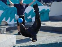Το λιοντάρι θάλασσας παρουσιάζει στο ενυδρείο 10 της Νέας Υόρκης Στοκ Εικόνες