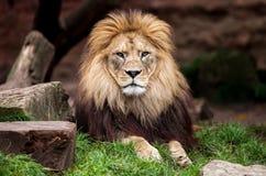 Το λιοντάρι κοιτάζει στη κάμερα Στοκ Εικόνες
