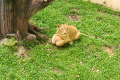 Το λιοντάρι φέρνει τη σφαίρα κάθεται στην πράσινη χλόη Στοκ Φωτογραφίες