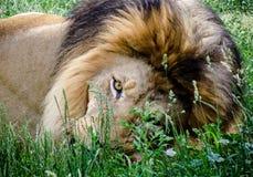 Το λιοντάρι φαίνεται ~ Στοκ Εικόνα