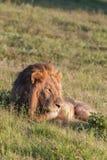 το λιοντάρι χλόης πάλης που βρίσκεται ήταν πληγωμένος εβδομάδας Στοκ Εικόνες