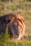 το λιοντάρι χλόης πάλης που βρίσκεται ήταν πληγωμένος εβδομάδας Στοκ εικόνες με δικαίωμα ελεύθερης χρήσης