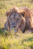 το λιοντάρι χλόης πάλης που βρίσκεται ήταν πληγωμένος εβδομάδας Στοκ εικόνα με δικαίωμα ελεύθερης χρήσης