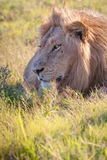 το λιοντάρι χλόης πάλης που βρίσκεται ήταν πληγωμένος εβδομάδας Στοκ φωτογραφίες με δικαίωμα ελεύθερης χρήσης
