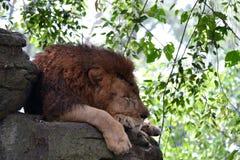 Το λιοντάρι Στοκ Εικόνα