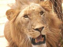 Το λιοντάρι Στοκ Φωτογραφία