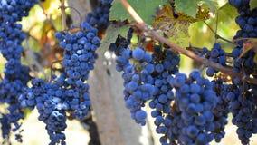 Το ισπανικό κρασί συγκομιδής ατόμων, μετακινείται το βλαστό απόθεμα βίντεο