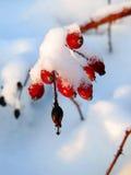 το ισχίο αυξήθηκε χιόνι Στοκ φωτογραφία με δικαίωμα ελεύθερης χρήσης