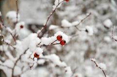 το ισχίο αυξήθηκε wintertime Στοκ Εικόνες