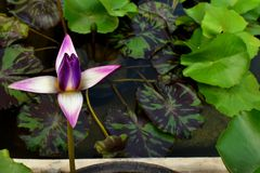 Το ιώδες και κίτρινο Lotus Nelumbo Nucifera στη λίμνη νερού στοκ εικόνα