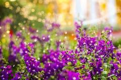 Το ιώδες λουλούδι έχει το χρόνο ποτίσματος Στοκ εικόνα με δικαίωμα ελεύθερης χρήσης