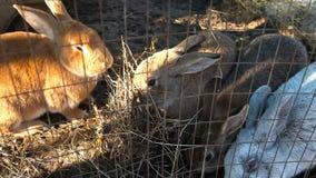 Το κάθισμα στα κουνέλια κλουβιών τρώει το σανό φιλμ μικρού μήκους