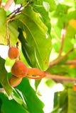 Το κάστανο είναι ένας τύπος φρούτων που πρέπει να μαγειρευτεί πρίν τρώει στοκ φωτογραφία με δικαίωμα ελεύθερης χρήσης