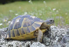 Το κέντρισμα η χελώνα (graeca Testudo) Στοκ Φωτογραφίες