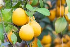 Το κίτρινο δέντρο λεμονιών Στοκ Φωτογραφίες