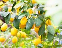 Το κίτρινο δέντρο λεμονιών Στοκ Εικόνα