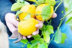 Το κίτρινο δέντρο λεμονιών Στοκ εικόνες με δικαίωμα ελεύθερης χρήσης