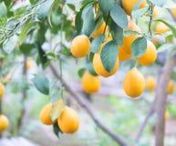 Το κίτρινο δέντρο λεμονιών Στοκ φωτογραφία με δικαίωμα ελεύθερης χρήσης