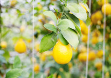Το κίτρινο δέντρο λεμονιών Στοκ φωτογραφίες με δικαίωμα ελεύθερης χρήσης