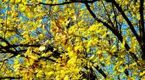 Το κίτρινο δέντρο, ξεραίνει τα φύλλα και το μπλε ουρανό, θολωμένο φυσικό υπόβαθρο φθινοπώρου οικολογίας στοκ εικόνες