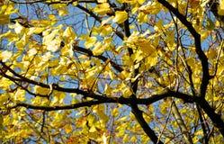 Το κίτρινο δέντρο φθινοπώρου, ξηρά φύλλα, θόλωσε το φυσικό υπόβαθρο φθινοπώρου οικολογίας στοκ εικόνα με δικαίωμα ελεύθερης χρήσης