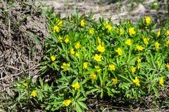 Το κίτρινο δασικό λουλούδι Anemone είναι ένα γένος περίπου 200 ειδών Στοκ φωτογραφίες με δικαίωμα ελεύθερης χρήσης