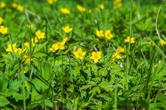 Το κίτρινο δασικό λουλούδι Anemone είναι ένα γένος περίπου 200 ειδών Στοκ εικόνα με δικαίωμα ελεύθερης χρήσης