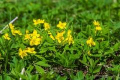 Το κίτρινο δασικό λουλούδι Anemone είναι ένα γένος περίπου 200 ειδών Στοκ Εικόνα